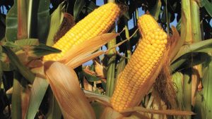 Maize, like other grain crops, is usually grown in unsustainable ways